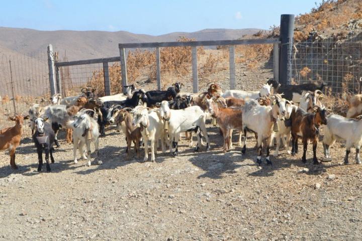 Το μεγαλύτερο κόστος για τους κτηνοτρόφους είναι  η περίφραξη που πρέπει να κάνουν, με την τοποθέτηση  σιδερένιων φρακτών για να μαντρώνουν τα ζώα τους, όχι  μόνο περιφερειακά, αλλά και εσωτερικά για να δημιουργούν βοσκοτόπια και να ξεχωρίζουν τα ζώα, τους τράγους κλπ.,  ενώ το άλλο έξοδό τους είναι οι ζωοτροφές για το καλοκαίρι.