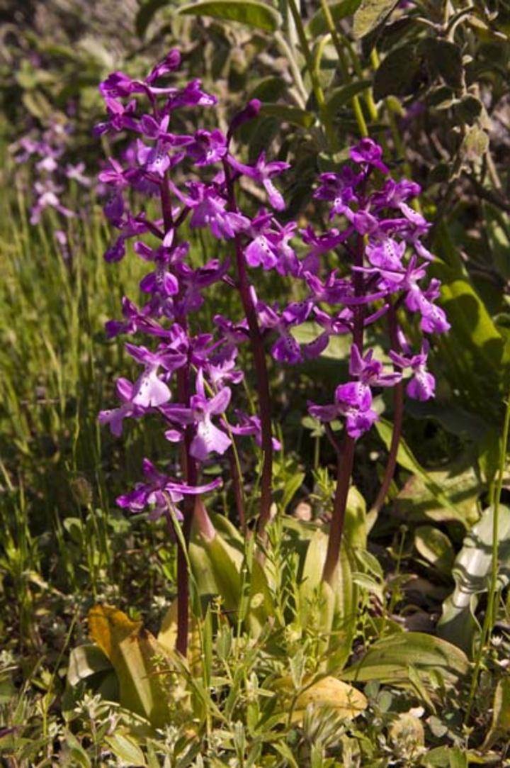 Ophrys anatolica