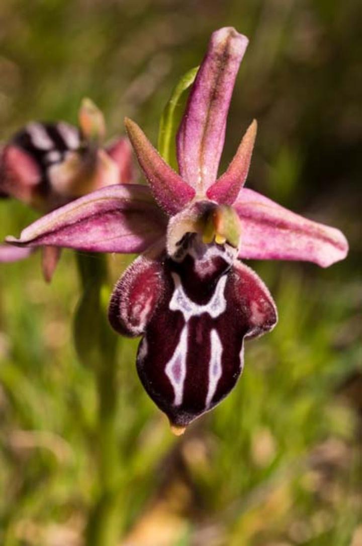 Ophrys beloniae