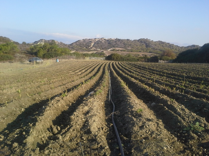 Η καταστροφή που έγινε στο συγκεκριμένο  χωράφι με πατάτες είναι ανυπολόγιστη. Έξοδα, κόποι και αγωνίες πολλών εβδομάδων, εξαφανίστηκαν μέσα σε μια νύχτα
