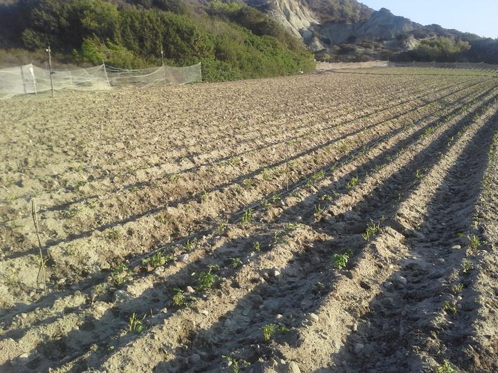 Μέσα σε μια νύχτα, ένα ολόκληρο χωράφι με πατάτες , έγινε τροφή  σε κοπάδι ελαφιών. Τα ίχνη που άφησαν πίσω τους δεν αφήνει καμία αμφιβολία. Οι αγρότες στη Νότια Ρόδο βρίσκονται στα... κάγκελα  και ζητούν από την πολιτεία να προστατεύσει επιτέλους την παραγωγή και τον κόπο τους.