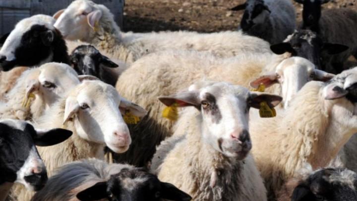 Μάστιγα τα αδέσποτα αιγοπρόβατα