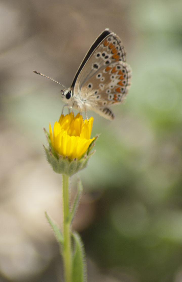Aricia agestis.  Photo by C.Galanos