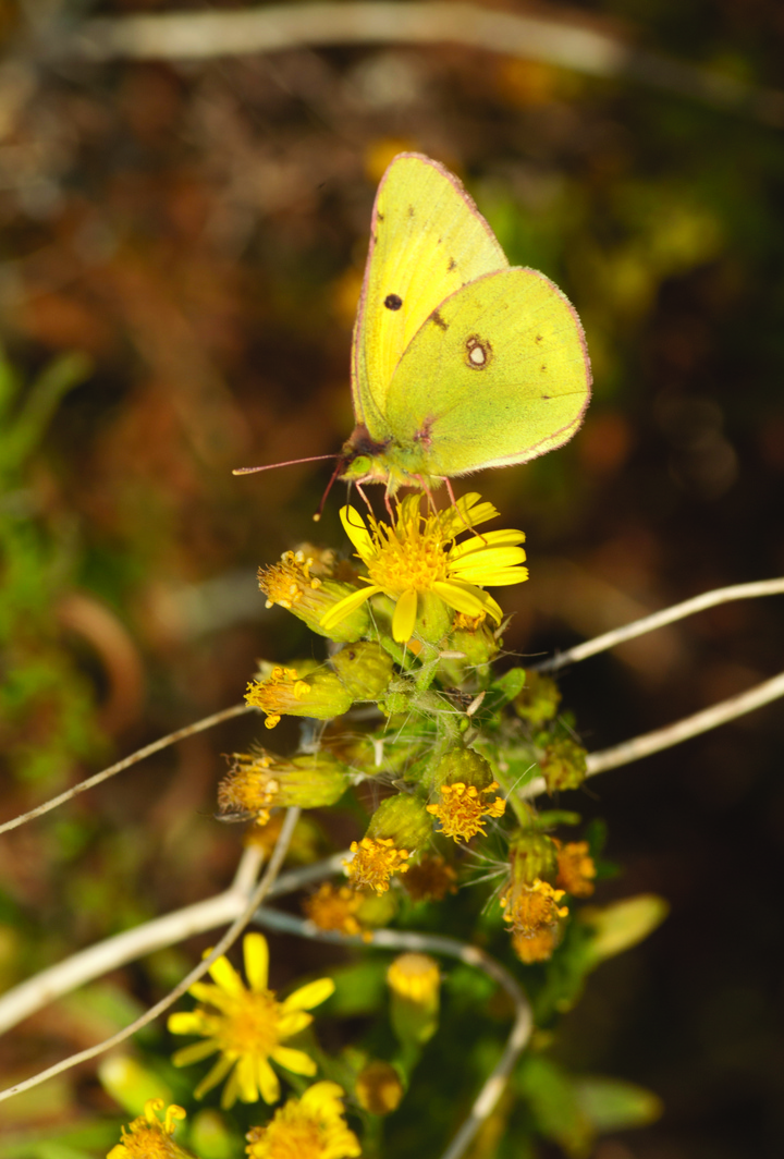 Colias crocea. Photo by C. Galanos
